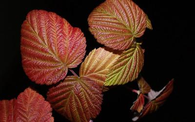 Red leaves [5] wallpaper