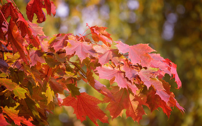 Red maple leaves wallpaper