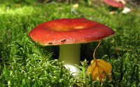 Red mushroom wallpaper 2880x1800 jpg