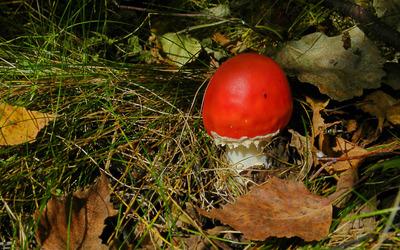 Red mushroom [3] wallpaper