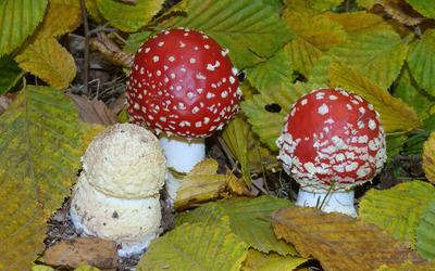 Red mushrooms Wallpaper