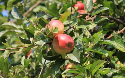 Ripe apples in the tree wallpaper