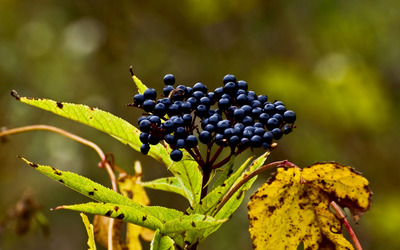 Sambucus berries wallpaper