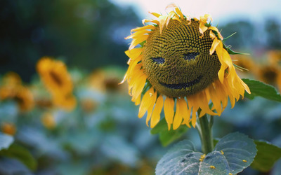 Smiling sunflower wallpaper