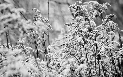 Snow bushes wallpaper