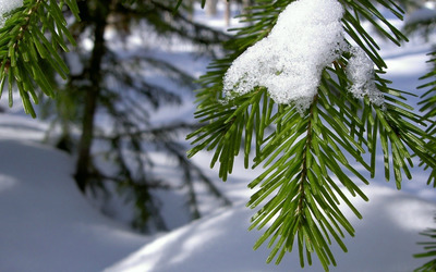Snow on fir wallpaper