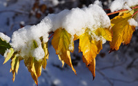Snowy autumn leaves on a branch wallpaper 3840x2160 jpg