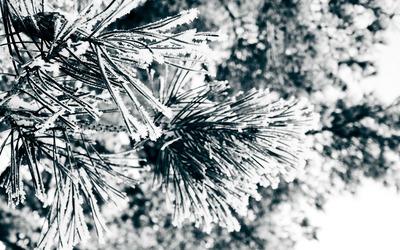 Snowy fir branches [2] wallpaper