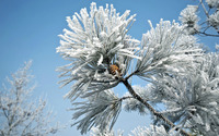 Snowy fir branches wallpaper 1920x1080 jpg