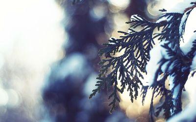 Snowy pine branch wallpaper