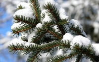 Snowy pine branch [2] wallpaper 1920x1200 jpg