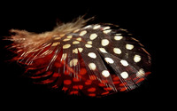 Spotted feather wallpaper 1920x1200 jpg