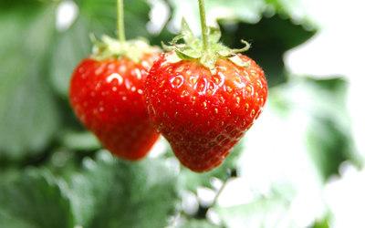 Strawberries [18] wallpaper