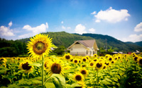 Sunflower field wallpaper 2560x1600 jpg