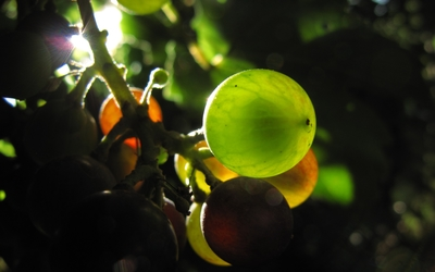 Sunlight through the grapes wallpaper