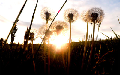 Sunrise among dandelions wallpaper