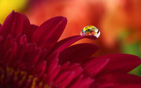 Water drop on red gerbera wallpaper 1920x1200 jpg