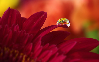 Water drop on red gerbera wallpaper