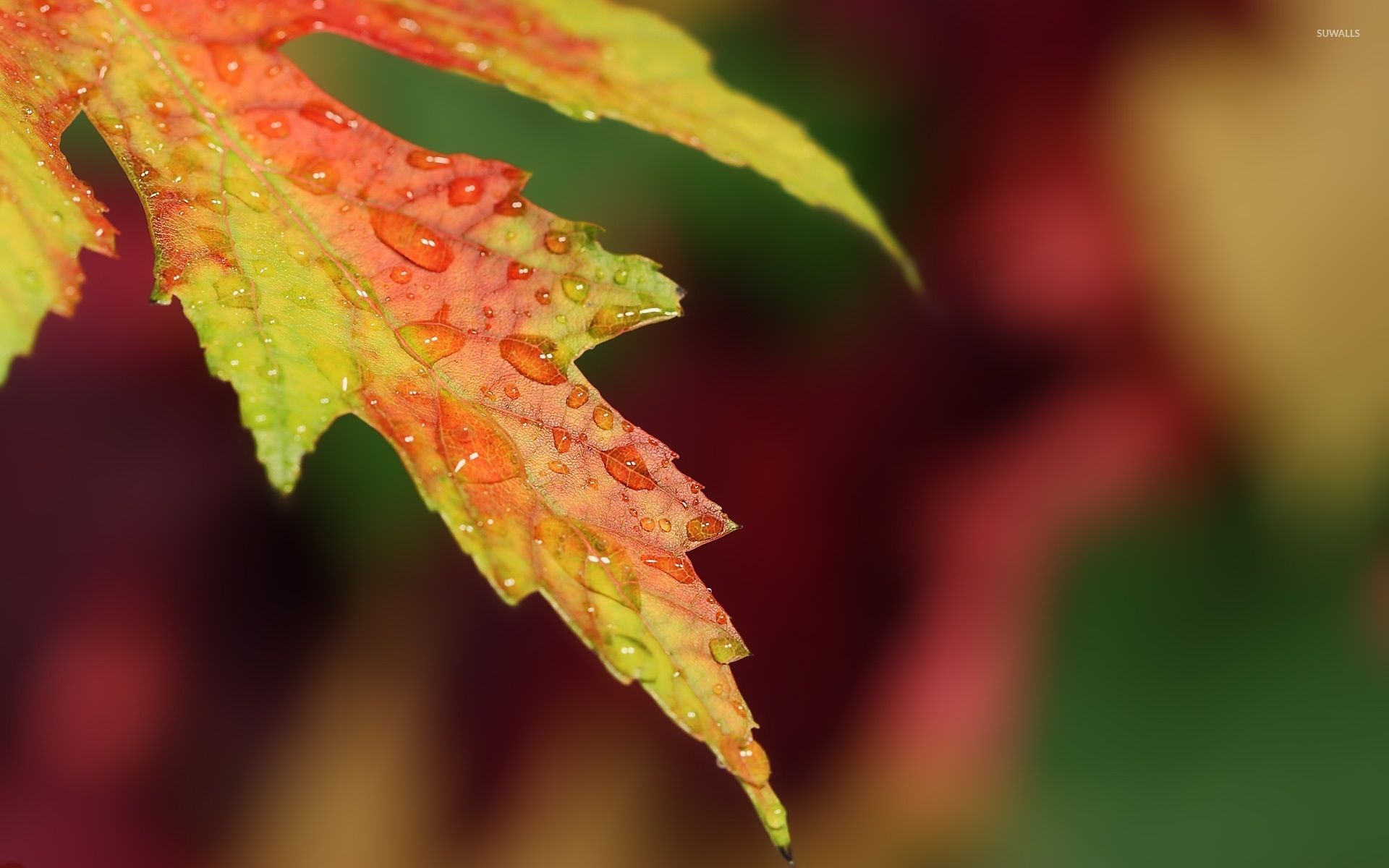 Water Drops On Autumn Leaf Wallpaper