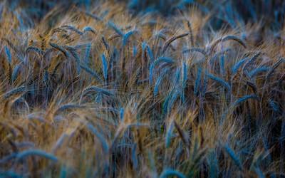Wheat [2] wallpaper