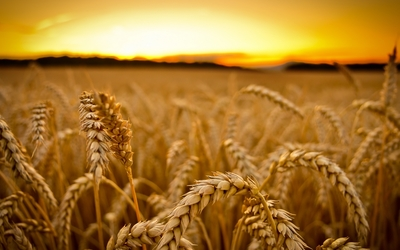 Wheat at sunset wallpaper