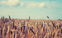 Wheat field [4] wallpaper 1920x1200 jpg