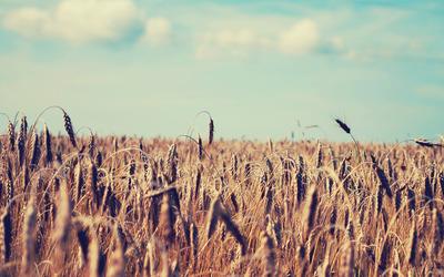 Wheat field [4] wallpaper