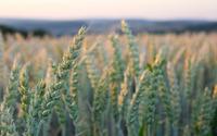 Wheat field [6] wallpaper 2560x1600 jpg