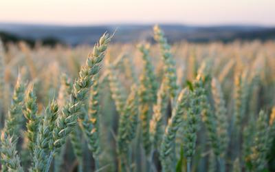 Wheat field [6] wallpaper