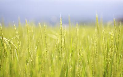 Wheat field [7] wallpaper