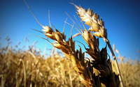 Wheat up close wallpaper 2560x1600 jpg