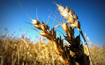 Wheat up close wallpaper