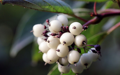 White fruits wallpaper
