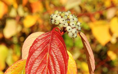 White fruits and autumn leaves Wallpaper