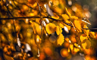 Yellow leaves wallpaper 1920x1200 jpg