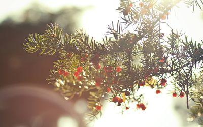 Yew berries Wallpaper